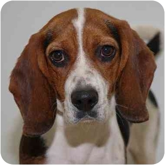 Beagle Dog for adoption in Westfield, New York - Jill