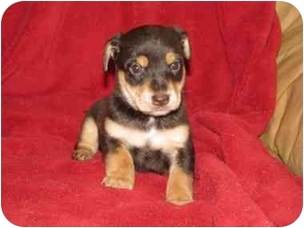 Terrier (Unknown Type, Small) Mix Puppy for adoption in Fredericksburg, Virginia - Rascal