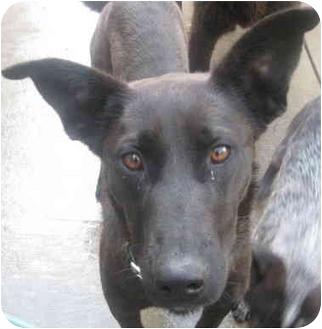 Labrador Retriever/Basenji Mix Dog for adoption in Chicago, Illinois - Pepper(ADOPTED!)