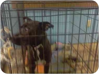American Pit Bull Terrier Dog for adoption in New Phila, Ohio - Mikey