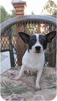 Chihuahua Mix Dog for adoption in Salem, Oregon - Maggie