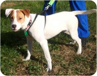 Beagle/Hound (Unknown Type) Mix Puppy for adoption in Bardonia, New York - Charlotte