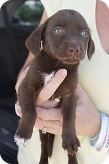Labrador Retriever/Dachshund Mix Puppy for adoption in Largo, Florida - MINI MUFFIN