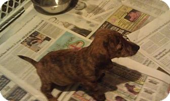 Dachshund/Beagle Mix Puppy for adoption in Youngwood, Pennsylvania - Junior