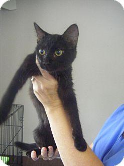 Domestic Shorthair Kitten for adoption in Bentonville, Arkansas - Midnight Glee