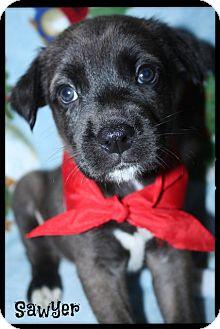German Shepherd Dog/Siberian Husky Mix Puppy for adoption in Cranford, New Jersey - Sawyer