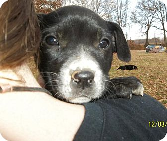 Labrador Retriever/Australian Cattle Dog Mix Puppy for adoption in Conway, New Hampshire - Amira