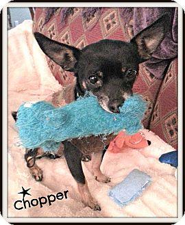 Chihuahua Mix Dog for adoption in Marietta, Georgia - Chopper