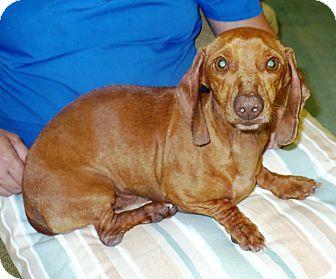 Dachshund Dog for adoption in Eastpoint, Florida - Oscar
