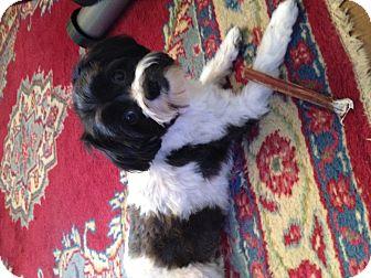 Havanese Dog for adoption in Buffalo, New York - Sadie: 3 years