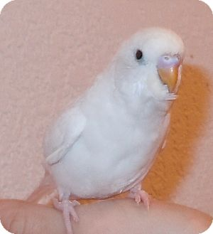 Budgie for adoption in Hubertus, Wisconsin - Snowball