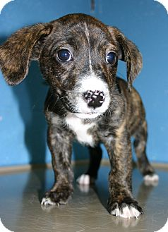 Beagle Mix Puppy for adoption in Pinehurst, North Carolina - Sarge