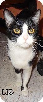 Domestic Shorthair Cat for adoption in Lapeer, Michigan - LIZ-LOVABLE & SWEET