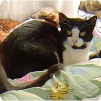 Domestic Shorthair Cat for adoption in Sherman Oaks, California - Delilah