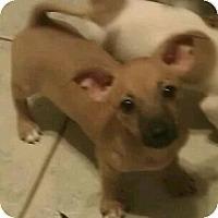 Adopt A Pet :: sinead - Phoenix, AZ