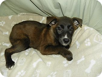 Retriever (Unknown Type)/Collie Mix Puppy for adoption in Waldorf, Maryland - Gina