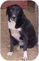 Labrador Retriever/Border Collie Mix Dog for adoption in Metamora, Indiana - Oreo