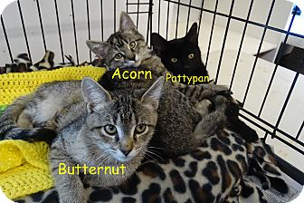 Domestic Shorthair Kitten for adoption in Elyria, Ohio - Butternut