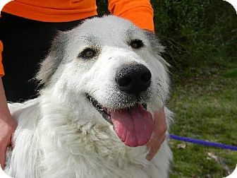Great Pyrenees Dog for adoption in Tyner, North Carolina - Anouk