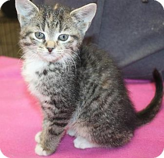 Domestic Shorthair Kitten for adoption in Cottageville, West Virginia - Apple