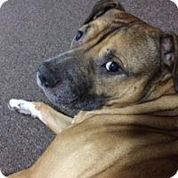 Adopt A Pet :: Bruschi - Raritan, NJ