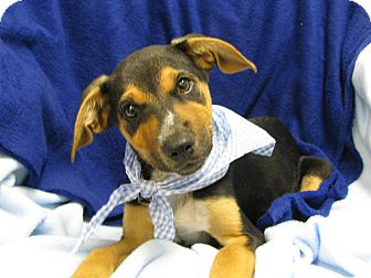 Hound (Unknown Type) Mix Puppy for adoption in Groton, Massachusetts - Dude
