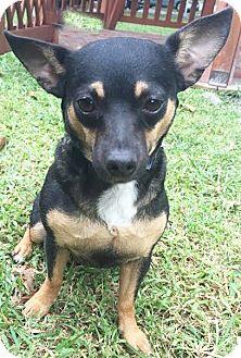 Chihuahua Mix Dog for adoption in Boca Raton, Florida - Dixie