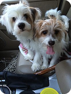 Shih Tzu/Chihuahua Mix Puppy for adoption in Albemarle, North Carolina - Snickers & Teddy