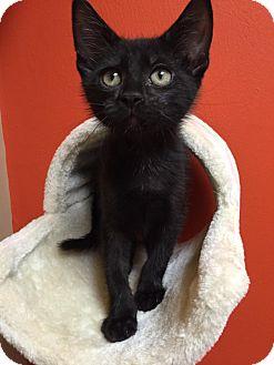 Domestic Shorthair Kitten for adoption in Maryville, Missouri - Chirp