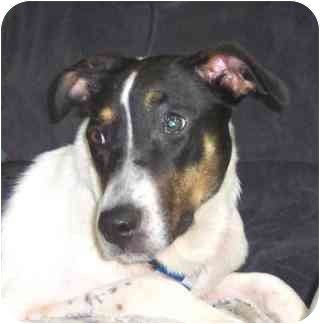 Beagle/Foxhound Mix Dog for adoption in West Los Angeles, California - Anya