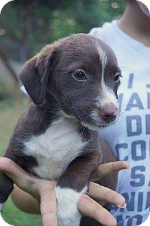 Dachshund/Spaniel (Unknown Type) Mix Puppy for adoption in Newark, Delaware - Melody