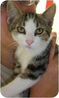 Domestic Shorthair Kitten for adoption in Somerset, Pennsylvania - Teddy