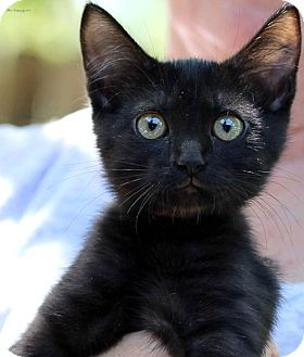 Domestic Shorthair Kitten for adoption in Rocklin, California - Firecracker & Rocket