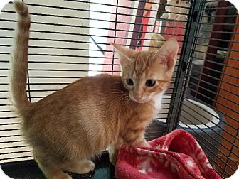 Domestic Shorthair Cat for adoption in Spring, Texas - Copeland Orange Kitten 2