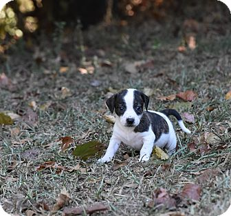 Dachshund Mix Puppy for adoption in Groton, Massachusetts - Digger