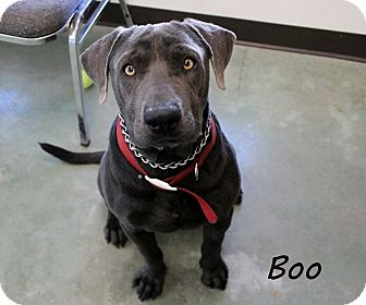 Weimaraner Mix Dog for adoption in Edgewood, New Mexico - Boo