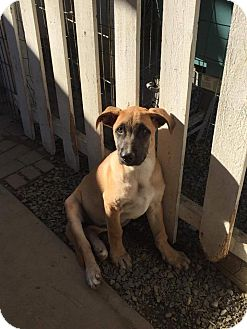 Belgian Malinois/Bull Terrier Mix Puppy for adoption in BONITA, California - Paulina
