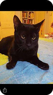 Domestic Mediumhair Cat for adoption in Enid, Oklahoma - Bruce