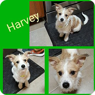 Terrier (Unknown Type, Small) Mix Dog for adoption in waterbury, Connecticut - Harvey