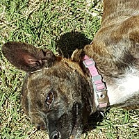 Adopt A Pet :: Coco Bean - Tucson, AZ
