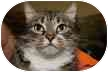 Domestic Shorthair Cat for adoption in Eatontown, New Jersey - Bob