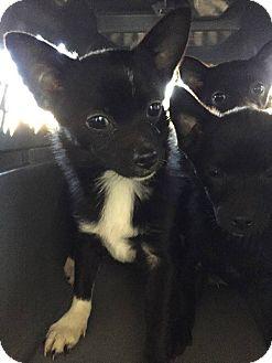 Chihuahua/Pomeranian Mix Dog for adoption in Fort Wayne, Indiana - Deklan