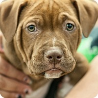 Adopt A Pet :: Valor - Gainesville, FL