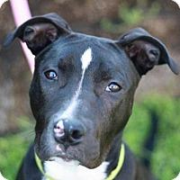 Adopt A Pet :: Marina - MEET ME @ PETCO 7.1.17! - Nanuet, NY