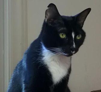 Domestic Shorthair Cat for adoption in Greensboro, North Carolina - Bre
