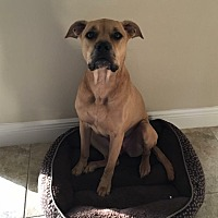 Black Mouth Cur/American Pit Bull Terrier Mix Dog for adoption in Wesley Chapel, Florida - Bella