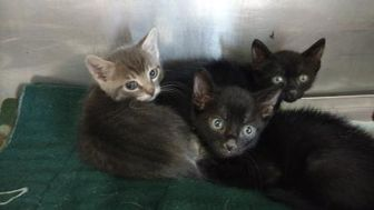Domestic Shorthair/Domestic Shorthair Mix Cat for adoption in Graham, Texas - ITZY