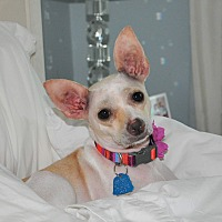 Chihuahua Dog for adoption in Barrington Hills, Illinois - Lucy #2