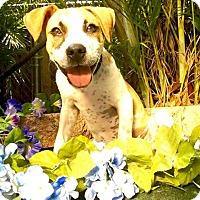 Adopt A Pet :: Sweetface - West Palm Beach, FL