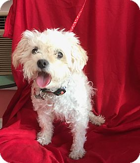 Maltese/Poodle (Toy or Tea Cup) Mix Dog for adoption in Irvine, California - SOPHIA
